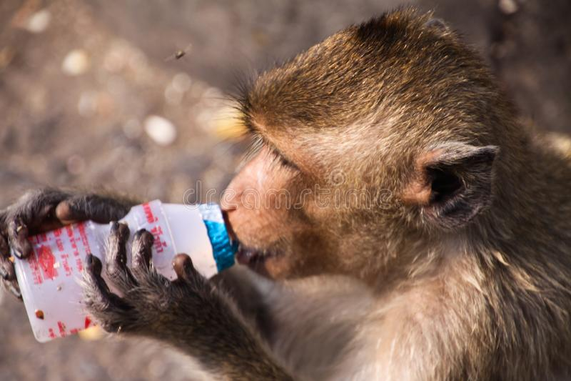Fascicularis del Macaca del macaque de la consumición del cangrejo que beben el yogur de la botella plástica en la ciudad Lopburi fotos de archivo
