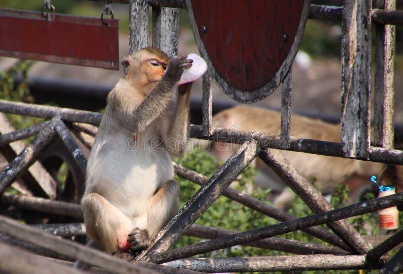 Fascicularis do Macaca do macaque comer do caranguejo que bebem o iogurte da garrafa plástica na cidade Lopburi do macaco, ao nor fotografia de stock