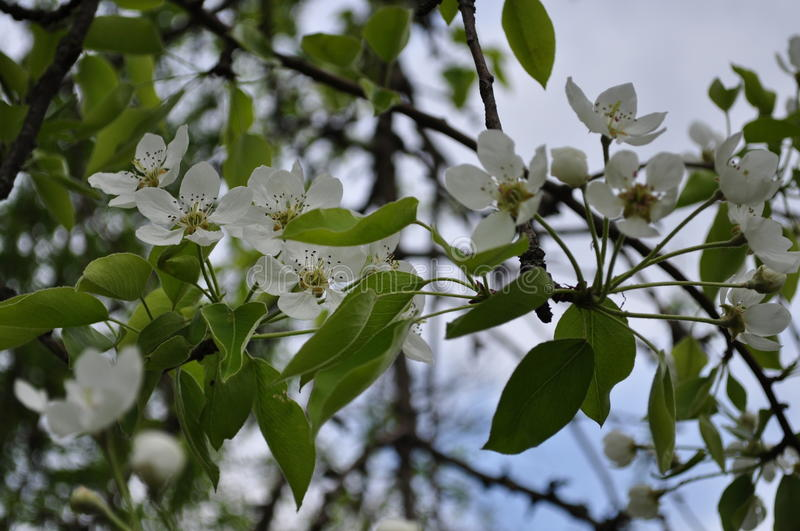 Fascinating delicate pear color spring on May stock photo