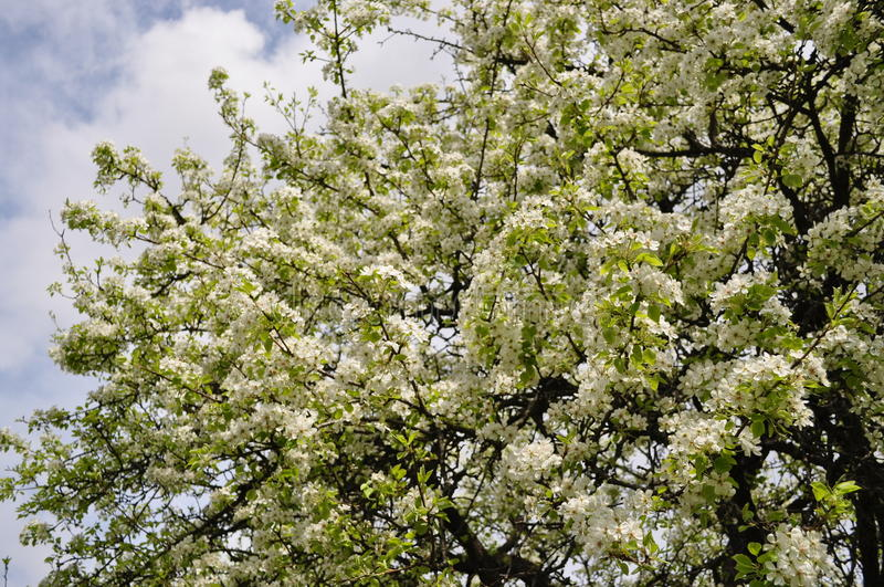 Fascinating delicate pear color spring on May stock photos