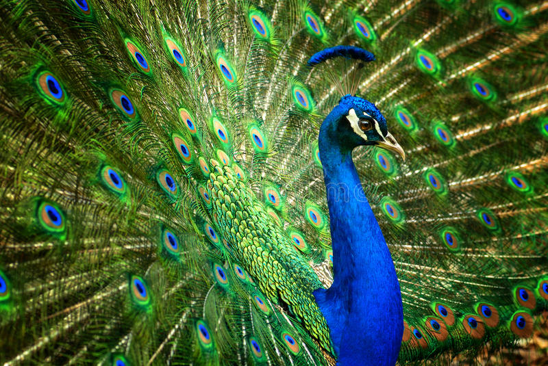 Fascinating peacock. Proud male Asian peacock shows off his fascinating plumage royalty free stock photography