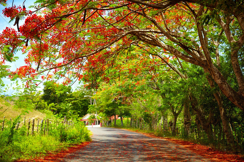 Fascinating road under the shadow of blooming Delonix Regia tree, that leads to Pico Isabel de Torres, Dominican Republic royalty free stock photo