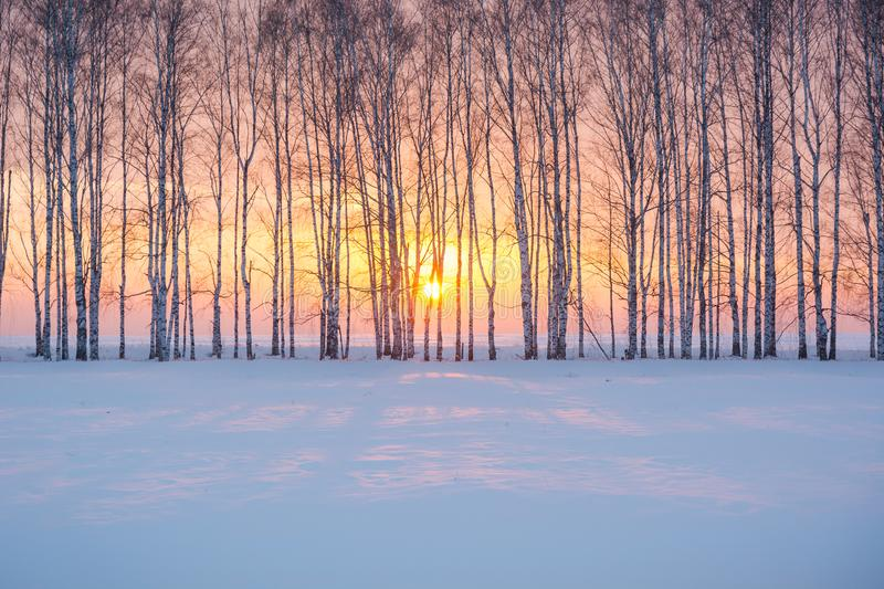 Charming winter sunset in the winter forest. A fascinating sunset among the birches in the Russian winter forest royalty free stock photography