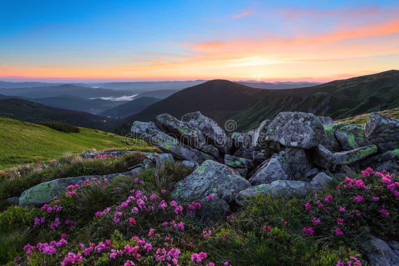 Fascinerande soluppgång Landskap med höga berg Rosa rhododendroner bland gråa stenar Trevlig sikt för naturvänner arkivfoton