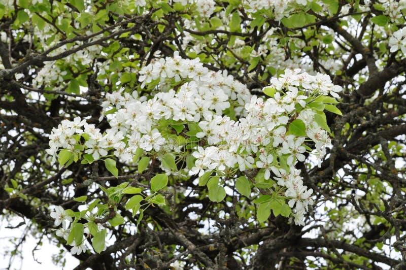 Fascynująca delikatna bonkreta koloru wiosna na Maju obraz royalty free