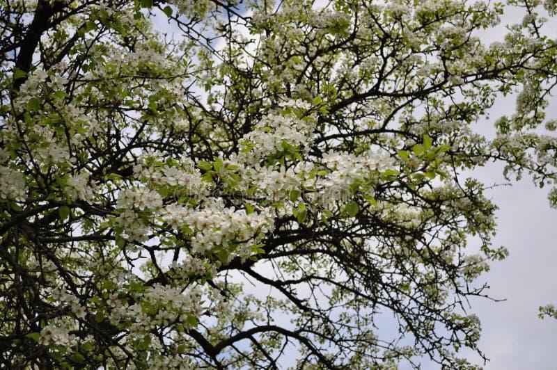 Fascynująca delikatna bonkreta koloru wiosna na Maju obraz stock