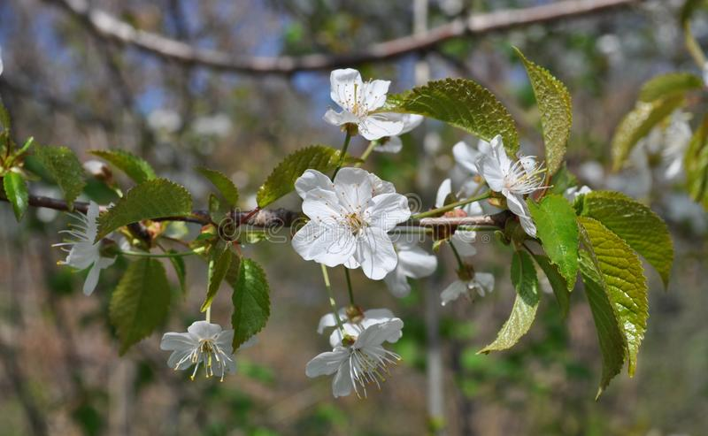 Fascynująca delikatna czereśniowa kolor wiosna na Maju obraz stock