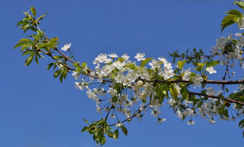Fascynująca delikatna czereśniowa kolor wiosna na Maju zdjęcia stock