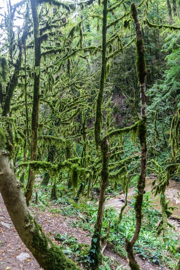 Fascynująca podróż przez doliny siklawy w boxwood lesie, Krasnodar region, Rosja zdjęcie stock