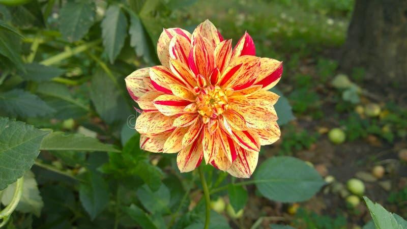 Fascynujący kwiat przyciąga ciebie myśl swój bardzo niezwykła kolorystyki kolorystyka zdjęcia royalty free