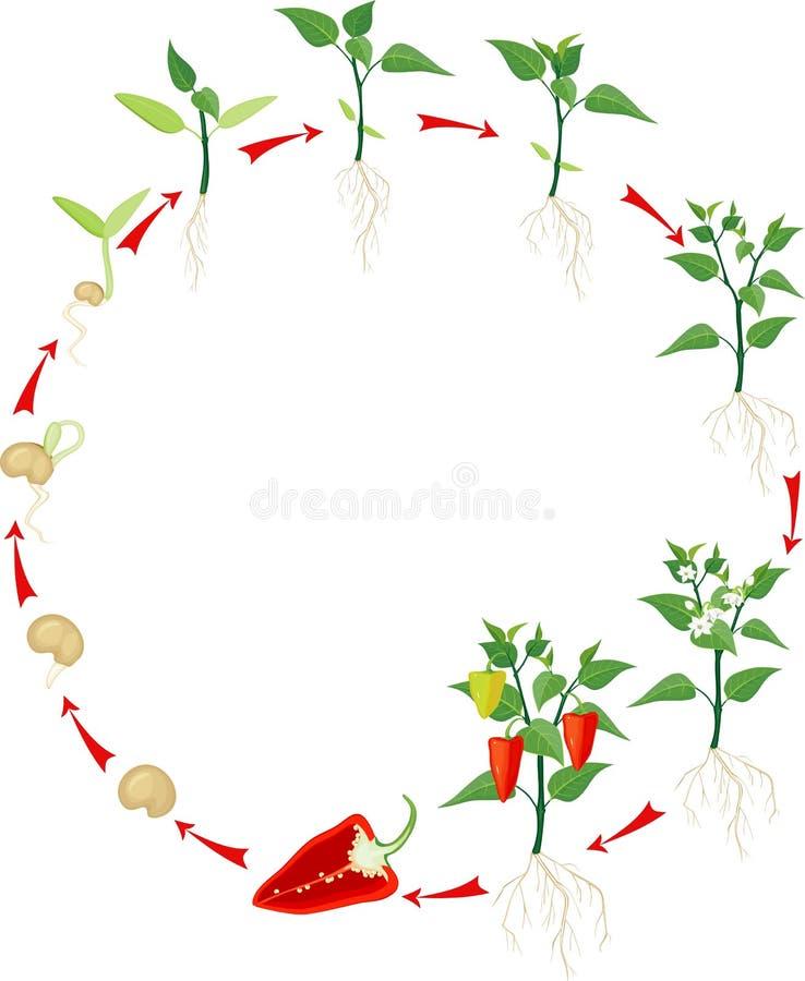 Fase crescente da pimenta ilustração stock