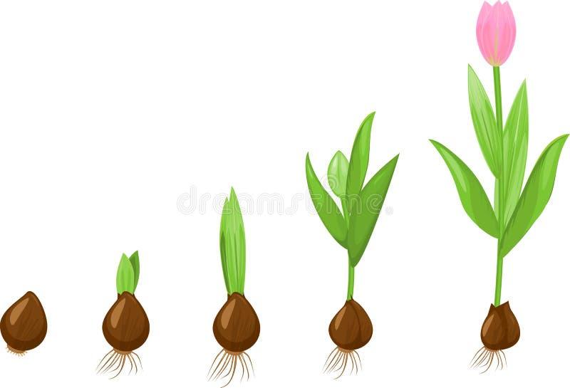 Fase di crescita del tulipano royalty illustrazione gratis