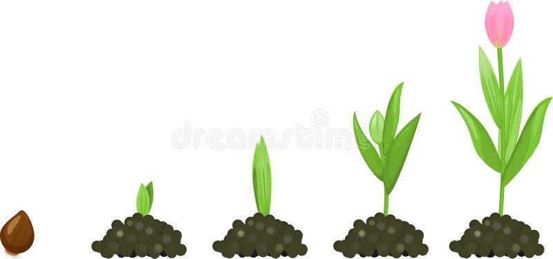 Fase di crescita del tulipano illustrazione di stock