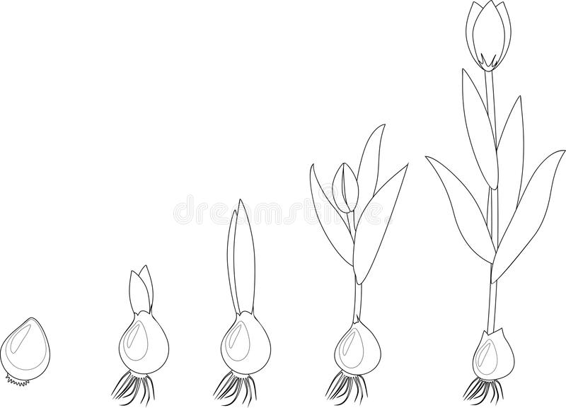 Fase di crescita del tulipano coloring illustrazione di stock