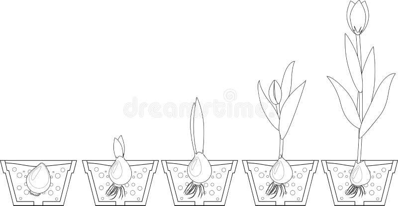 Fase di crescita del tulipano coloring illustrazione vettoriale