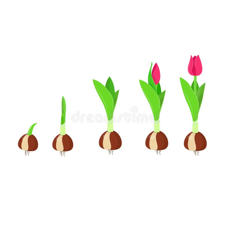 Fase di crescita del tulipano Crescita e sviluppo della pianta illustrazione vettoriale