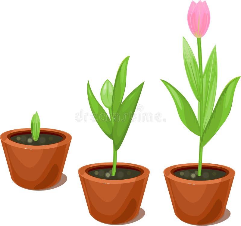 Fase di crescita del tulipano in vasi da fiori royalty illustrazione gratis