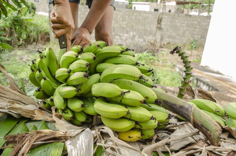 Fase iniziale di ridurre il mazzo della banana alle mani fotografie stock