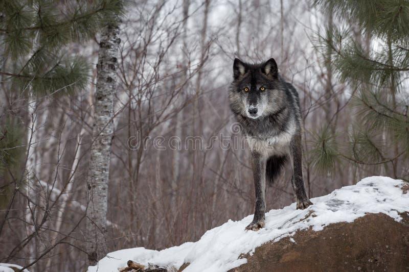 Fase negra Grey Wolf y x28; Lupus& x29 del Canis; Mira hacia fuera encima de roca imagenes de archivo