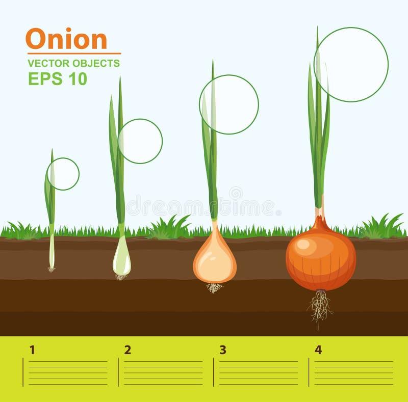 Faser av tillväxt av en lök i trädgården Tillväxt, utveckling och produktivitet av löken Tillväxtetapp royaltyfri illustrationer