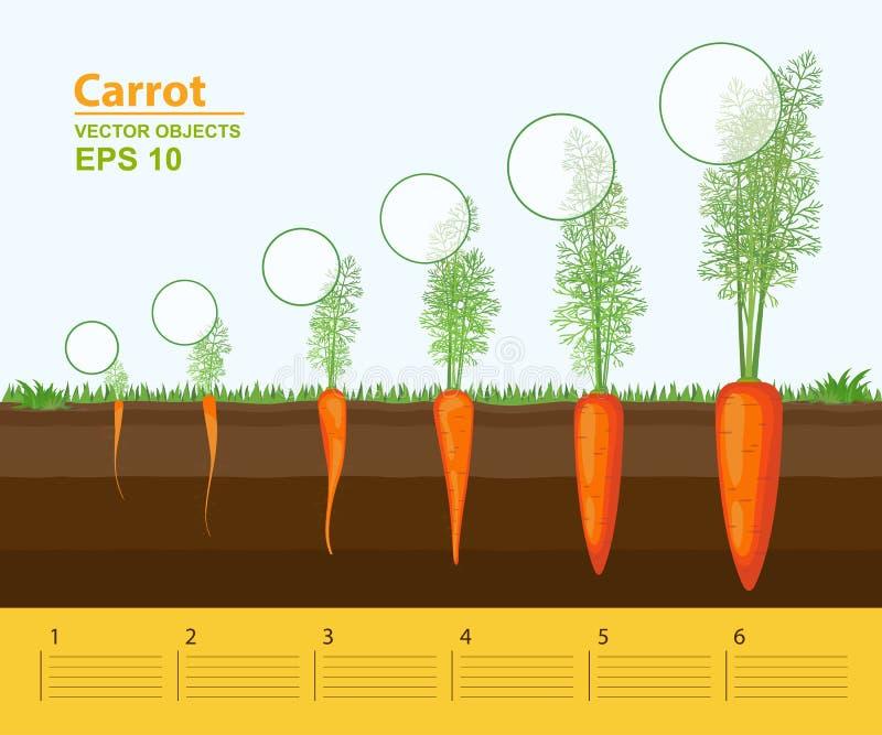 Faser av tillväxt av en morot i trädgården Tillväxt, utveckling och produktivitet av moroten Tillväxtetapp Avstånd mellan växter royaltyfri illustrationer