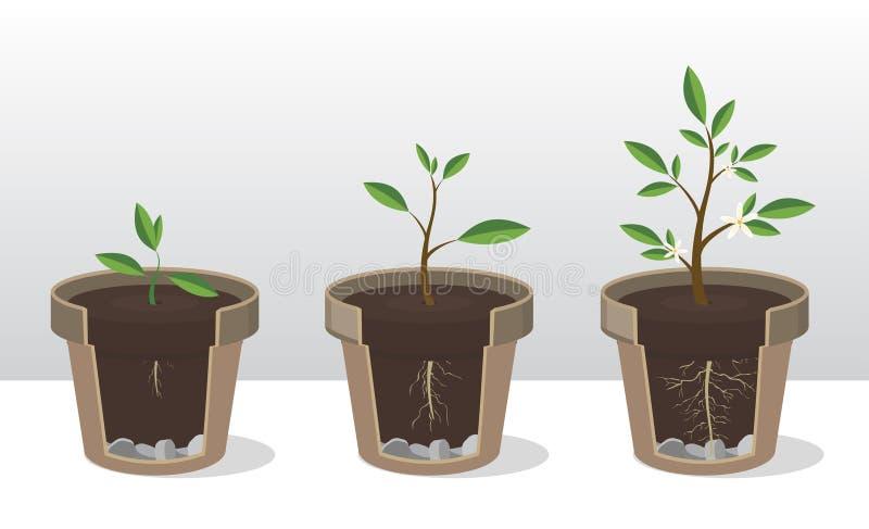 Faser av tillväxt av en växt med rotar och skjuter Rotad grodd i blomkruka royaltyfri illustrationer