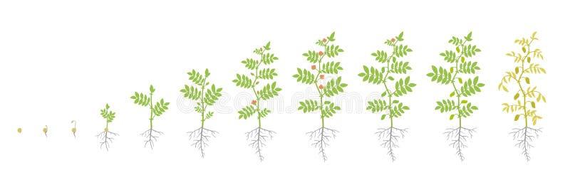 Fases da colheita do grão-de-bico Planta de ervilha crescente do pintainho da animação Sabido como o grama ou o grama de Bengal,  ilustração royalty free