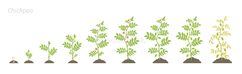 Fases da colheita do grão-de-bico Planta de ervilha crescente do pintainho da animação Sabido como o grama ou o grama de Bengal,  ilustração stock