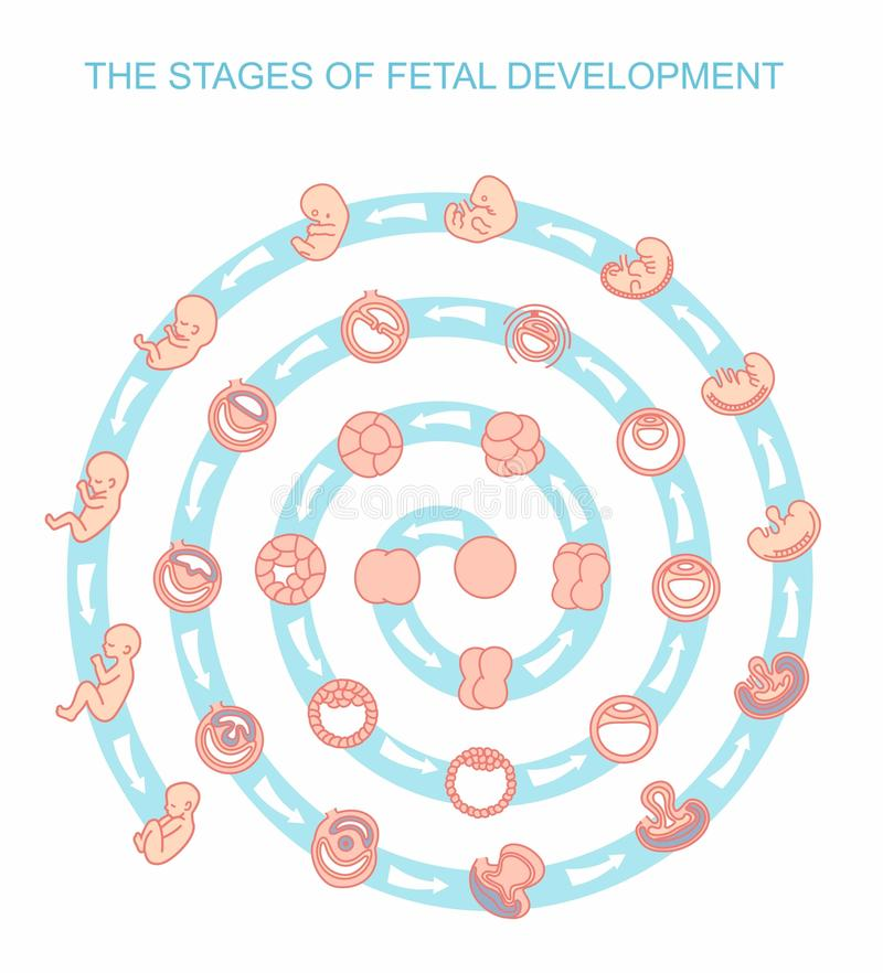 Fases da ilustração do vetor do desenvolvimento fetal Isolado no fundo branco Gravidez ilustração do vetor