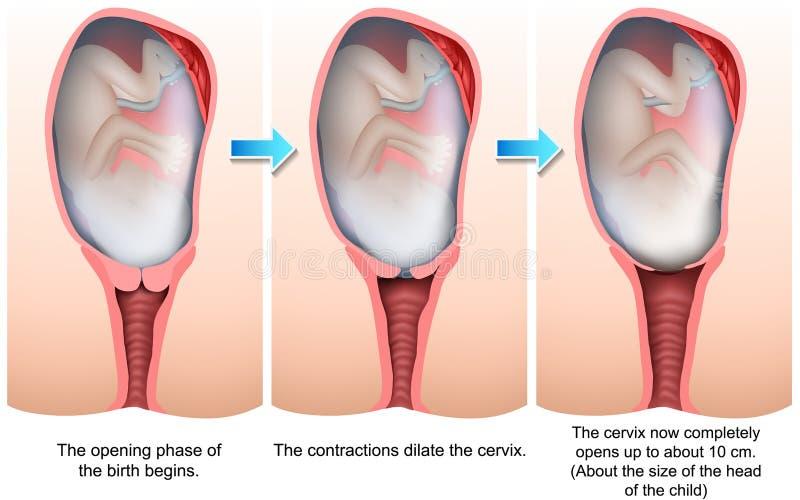 Fases da ilustração médica do nascimento 3d ilustração stock
