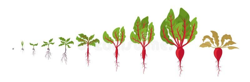 Fases do crescimento da beterraba Plantação da planta vermelha das beterrabas Ciclo de vida da raiz principal da beterraba Ilustr ilustração do vetor