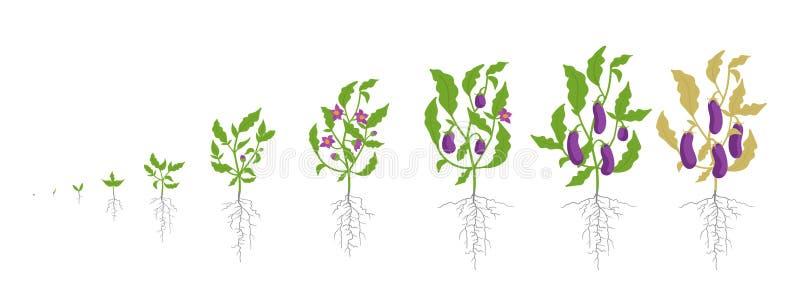Fases do crescimento da planta da beringela Ilustração do vetor Melongena do Solanum Beringela, ciclo de vida do brinjal botânica ilustração royalty free