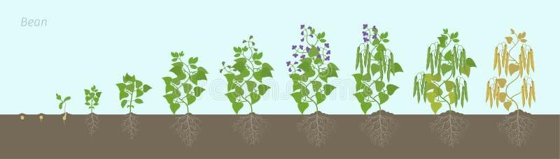 Fases do crescimento da planta de feijão com raizes no solo As fases do Fabaceae da família do feijão ajustaram o período de amad ilustração stock