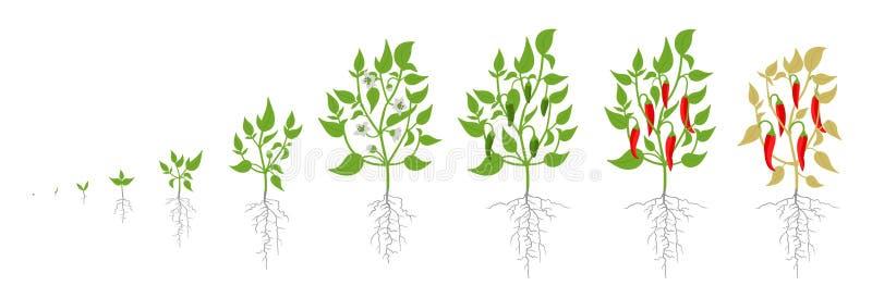 Fases do crescimento da planta da pimenta de pimentão vermelho Ilustração do vetor Capsicum ânuo Ciclo de vida da pimenta de caie ilustração stock