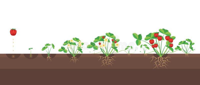 Fases do crescimento dos desenhos animados das morangos Vetor ilustração royalty free