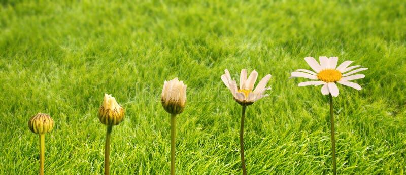 Fases do crescimento e da florescência de uma margarida, fundo da grama verde, conceito da transformação da vida imagens de stock