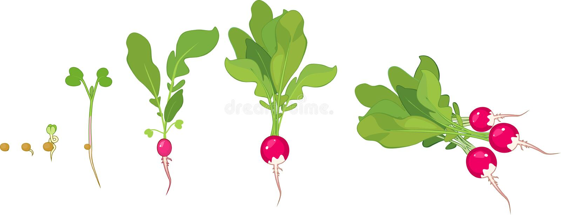 Fases do crescimento do rabanete da semente e do broto a colher ilustração royalty free