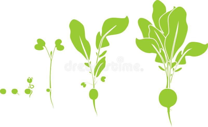 Fases do crescimento do rabanete da semente e do broto a colher ilustração stock