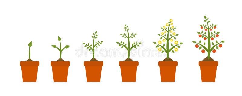 Fases do crescimento vegetal dentro no potenciômetro cerâmico Árvore com folha verde e fruto vermelho Plantando apresentações do  ilustração do vetor