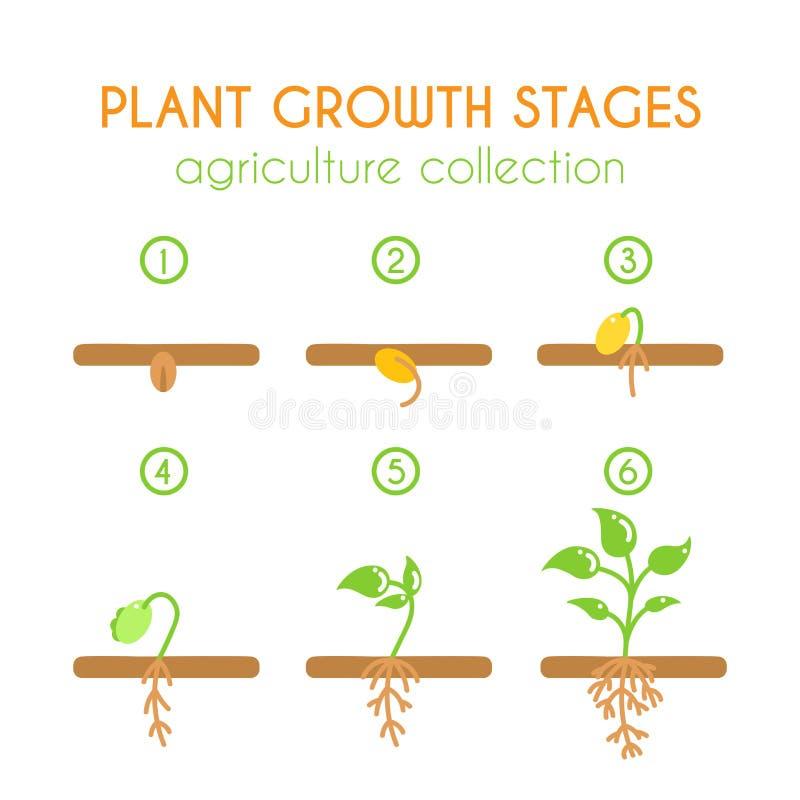 Fases do crescimento vegetal do vetor Projeto infographic do processo de plantação Coleção lisa do argiculture ilustração stock