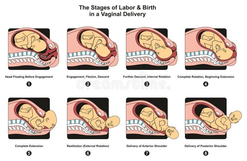 Fases do trabalho e do nascimento em uma entrega vaginal ilustração do vetor