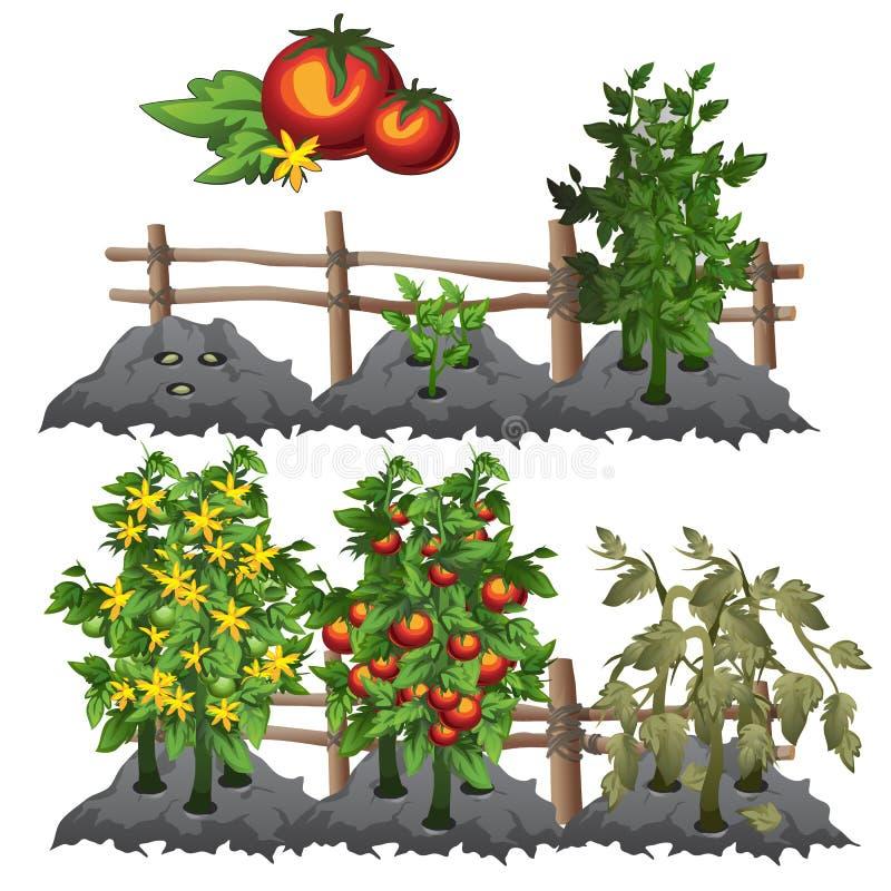 Fases dos tomates, agricultura do crescimento, vetor ilustração stock