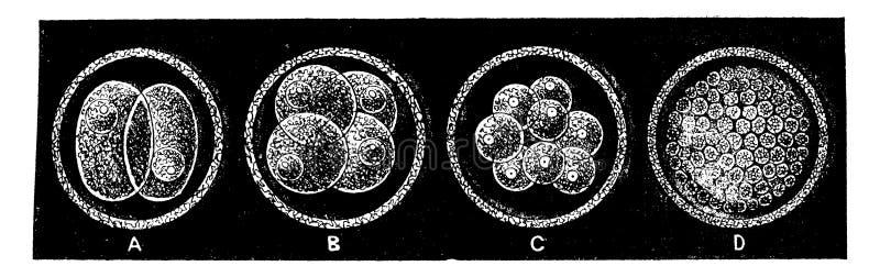 Fases tempranas de la creación de un grabado mamífero vintage ilustración del vector