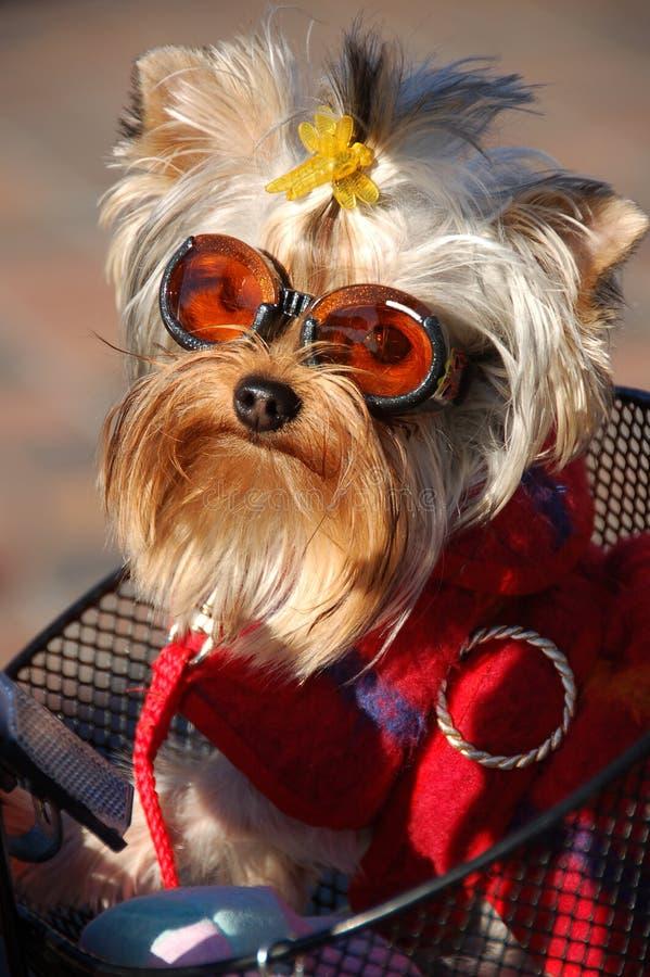 Fashion dog. In the bike's basket stock photo