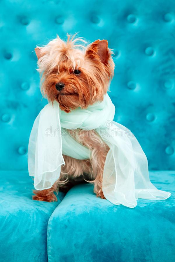 Doggy photo session couch tiffany blue turquoise color dog pet terrier sofa bow blue stock images