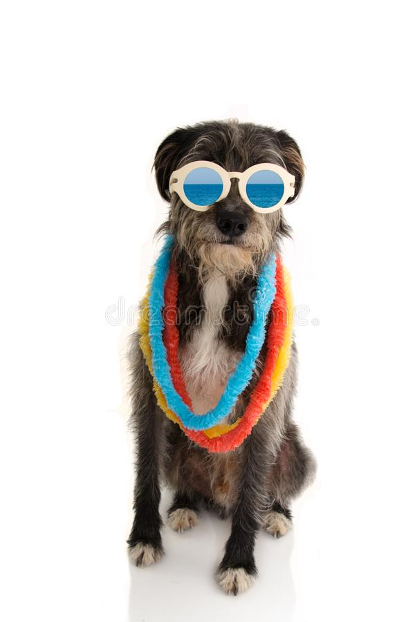 FASHION DOG READY FOR SUMMER VACATIONS HOLIDAYS AT THE BEACH WEARING VINTAGE SUNGLASSES AND HAWAII LEI. ISOLATED ON WHITE. BACKGROUND royalty free stock photography