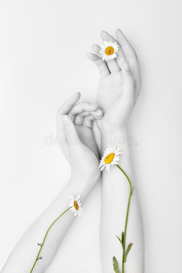 Fashion hand art chamomile natural cosmetics women, white beautiful chamomile flowers hand with bright contrast makeup, hand care. Creative beauty photo girl stock images