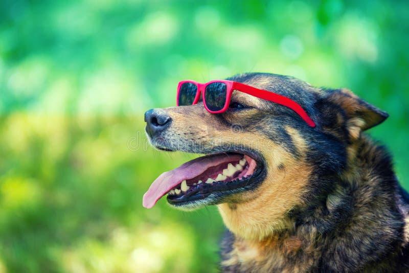 Fashion portrait of a dog wearing sunglasses stock photos