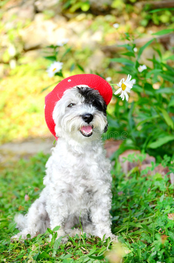 Fashionable dog with red hat looking at the camera stock image