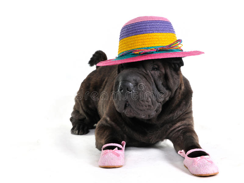 Download Fashionable Shar-Pei stock photo. Image of relax, oldfashioned - 14857386